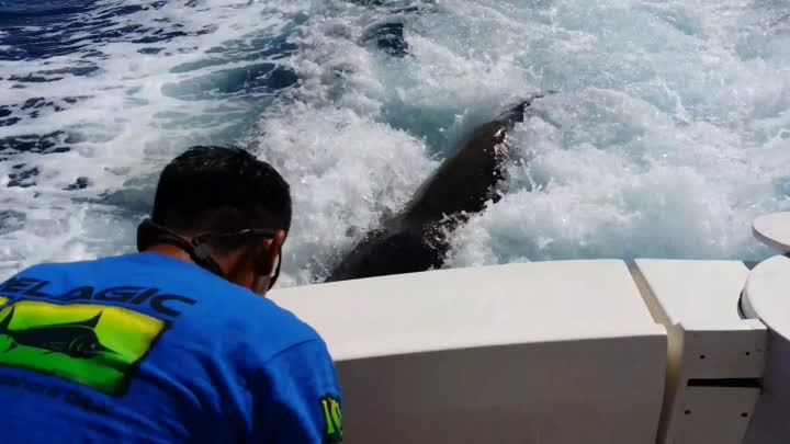 Видео: Sea Lion in Cabo San Lucas Chases Boat and Comes Aboards for a Fish!