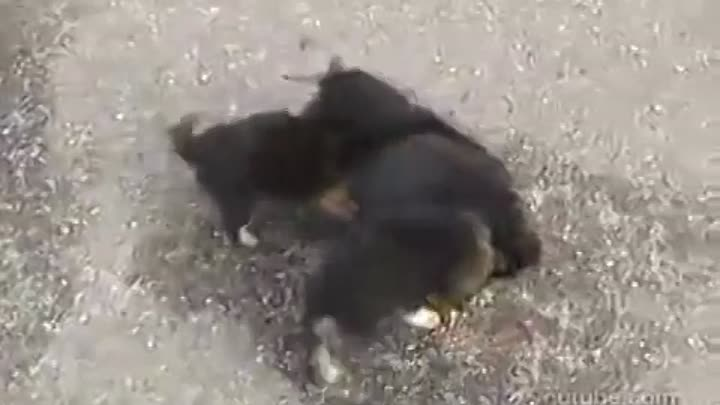 Angry Dogs attacks cat (Злые Собаки напали на кота)