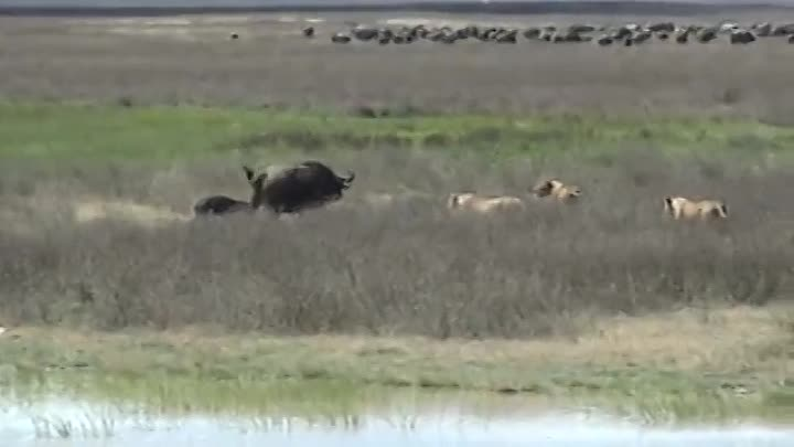 Видео: Wildlife stand-off - A new born calf & 4 hungry lions - Defiant cape buffalo in between them!