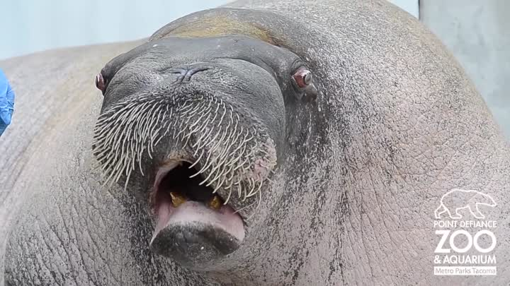 E.T. the Walrus practices his vocalizations at Point Defiance Zoo & Aquarium