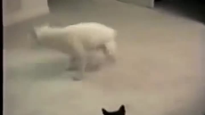 Crazy Cat Attacking Dog
