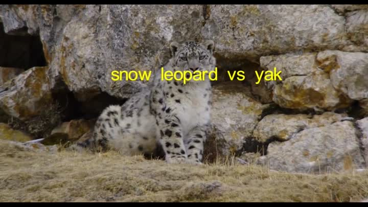 Видео: Як спасает теленка от снежного барса (Yak saves calf from snow leopard)