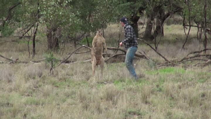 Man punches a kangaroo in the face to rescue his dog (Original HD)