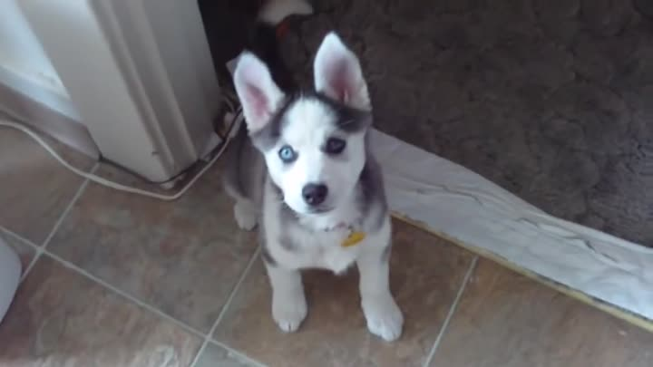 "Видео: Husky Puppy Talking saying ""I love you"""