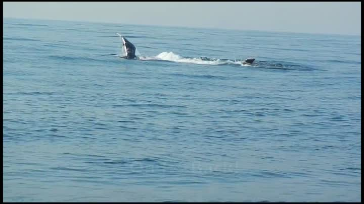 Видео: 40 Ton Humpback Whale Leaps Entirely Out of the Water! A Video by Craig Capehart