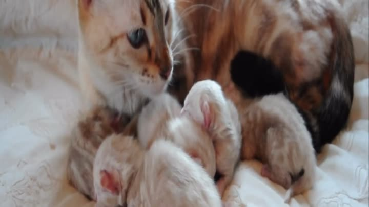 Видео: Snow BENGAL KITTENS 12 hours old born here at Maplewood Bengals.