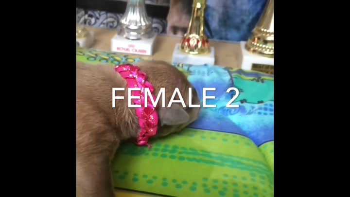Видео: Queen RC Remyline Kennel Present 🎁 Pupys for Sale 4 male 4 Female Date Born 25.07.2017