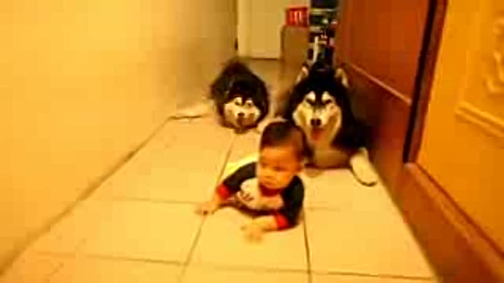 Видео: Adorable Alaskan Malamute playing with kids _ Dog Loves Baby Compilation_low.mp4