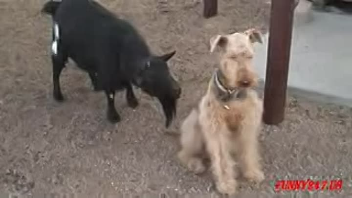 Видео: Cute Puppy Goat Compilation_low.mp4