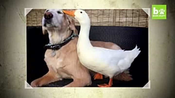 Видео: Dog And Duck Are Inseparable Best Friends_low.mp4