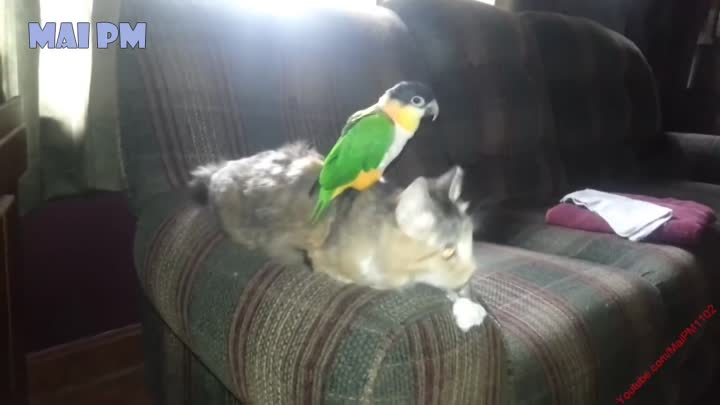 Cute Parrot and Cat Videos - Best of Funny Parrots Annoying Cats Compilation 2017