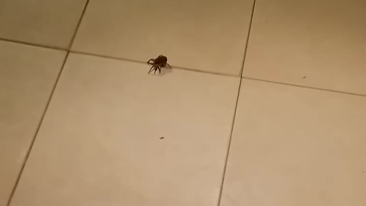 Видео: Big Wolf Spider Squashed then Babies Crawl Out - ORIGINAL