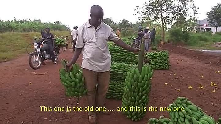 Видео: Innovation in banana cropping systems.mp4