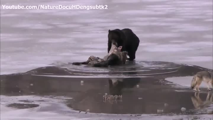 Discovery Channel Clash Encounters of Bears vs Wolves Discovery Wild