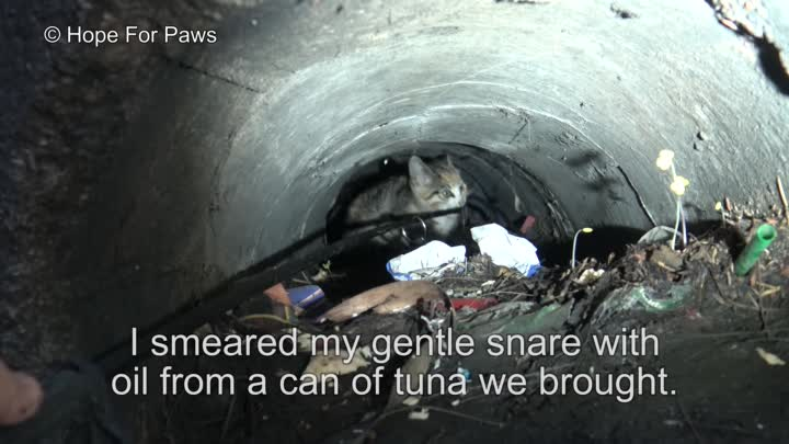Видео: A kitten was stuck in the sewer until a woman heard the calls for help from below! Please share.