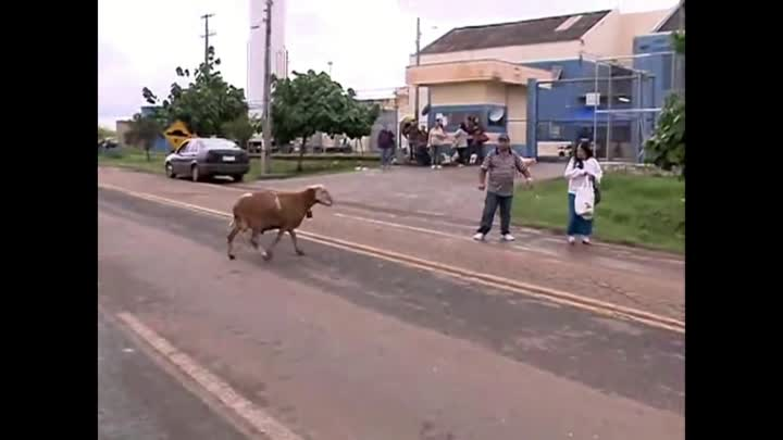 Angry Billy Goat Terrorizes Town