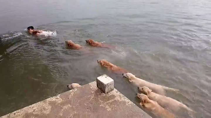 Swimming With Golden Retrievers