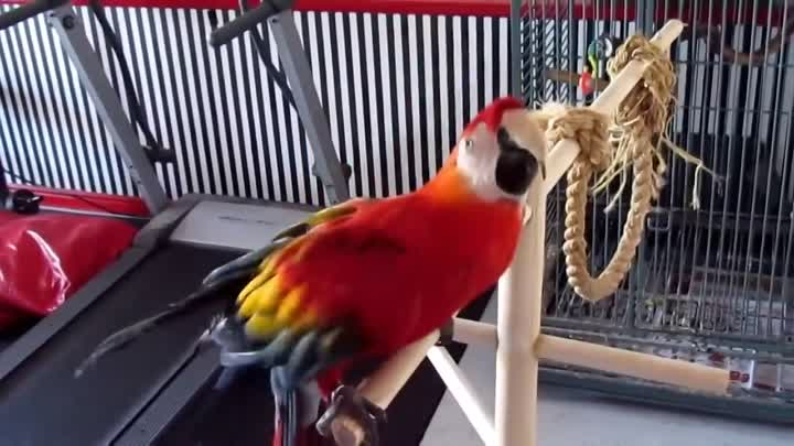 LARGE SINGING - DANCING - TALKING MACAW NEEDS NEW HOME.mp4