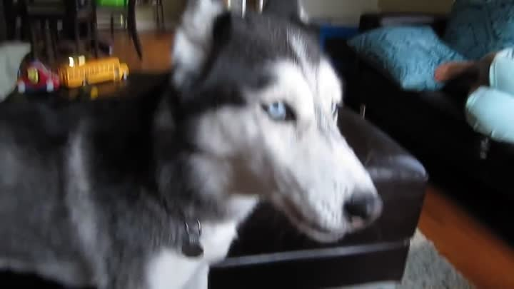Видео: Mishka the Husky sings Lady Gaga - Alejandro